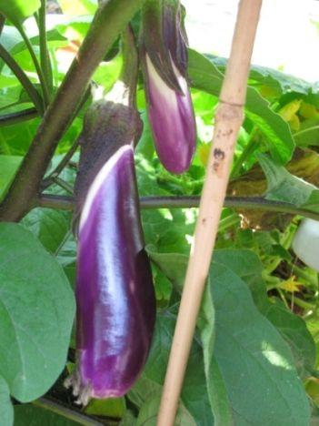 eggplant_1