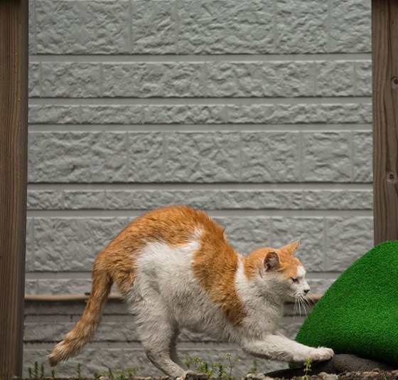 japanese_stray_cat_45