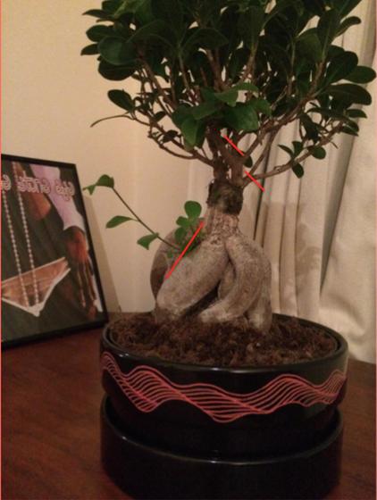 bonsai_style_12