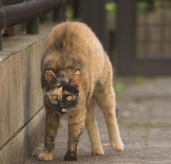 japanese_stray_cat_10