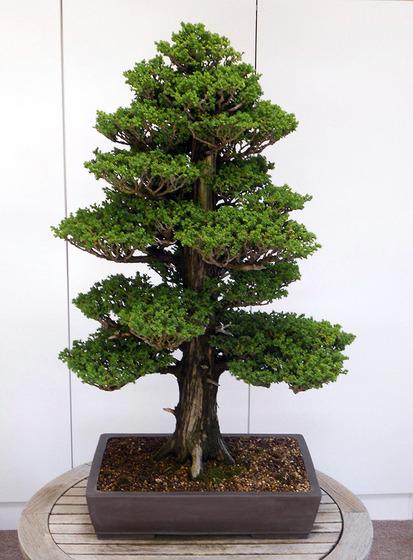 bonsai_style_8