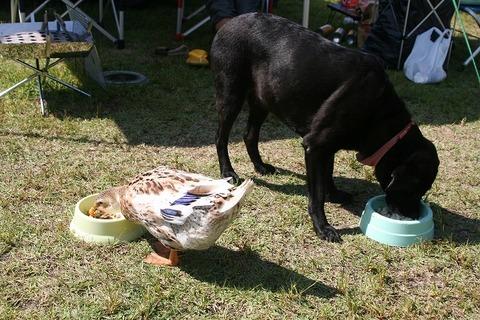 blog-5-犬と合鴨2