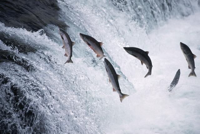 alaska-salmon-jumping