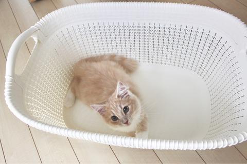 シェリル ノルウェージャンフォレストキャット 猫