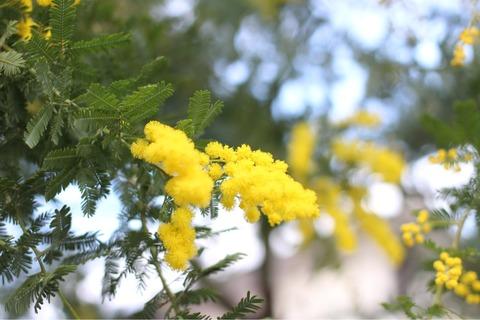 ミモザの花 庭 ガーデニング