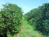 コーヒー畑2