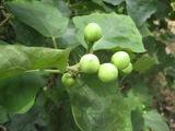 タイの茄子