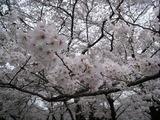 代々木公園の桜_2