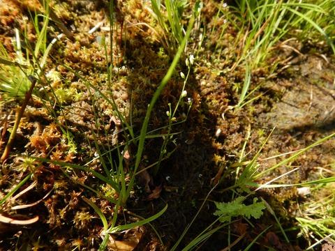 ミミカキグサ(食虫植物)3