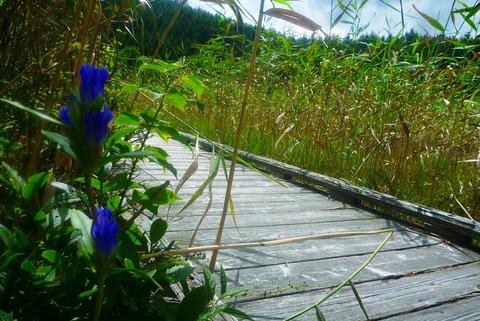 ①エゾリンドウ咲くヨシ沼②