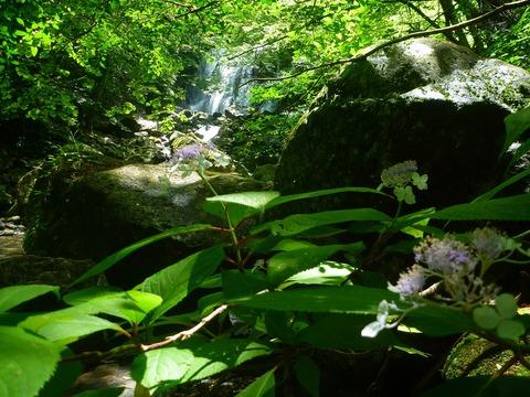 タマアジサイの花咲く咆哮霹靂の滝360254