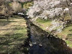 紅葉橋桜1