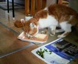 ミミちゃんはシーチキンをバグバグ食べています。