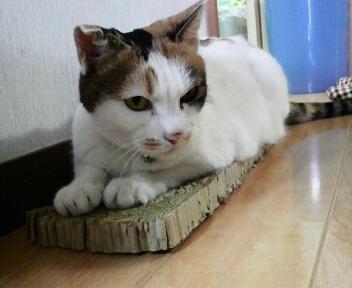 シロちゃんは、いつもの爪とぎの上に座っています。
