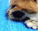 ミミちゃんの左頬の膿は、とうとう治りませんでした。(AM10:30)