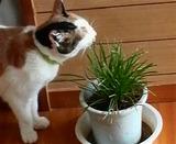 シロちゃんは、猫草を食べています。
