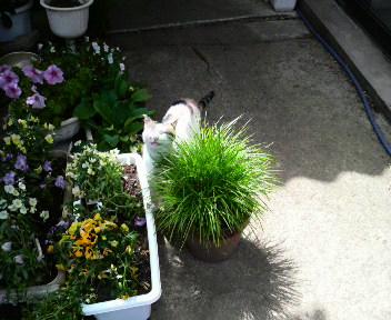 猫用の草を食べているシロちゃんです。