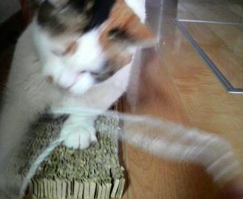 シロちゃんは糸で遊ぶのが大好きです。