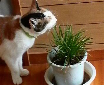 猫草を食べています。 hspace=