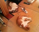 シロちゃんもミミちゃんも暑いので横になってグッスリ寝ています。