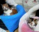 ミミちゃんはシロちゃんの真似をしてペットハウスに入っています。