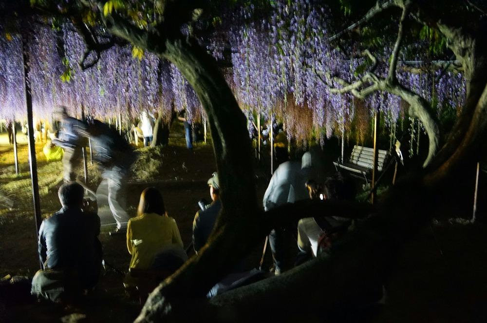 夜の九尺藤