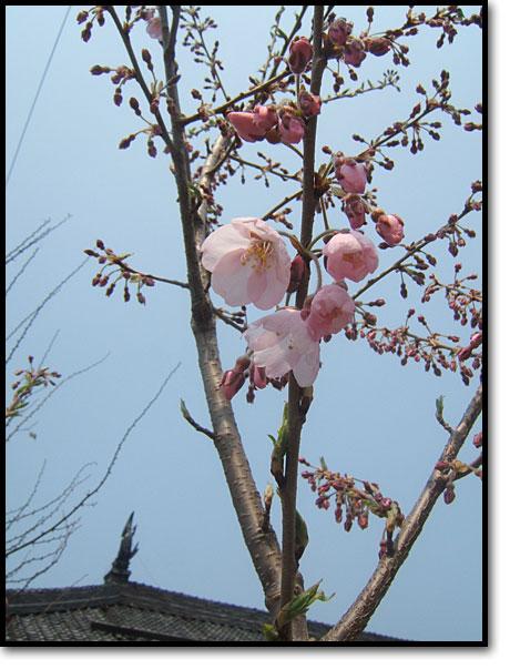 山形県白鷹町観光協会寄贈の樹齢千年古典桜が開花02