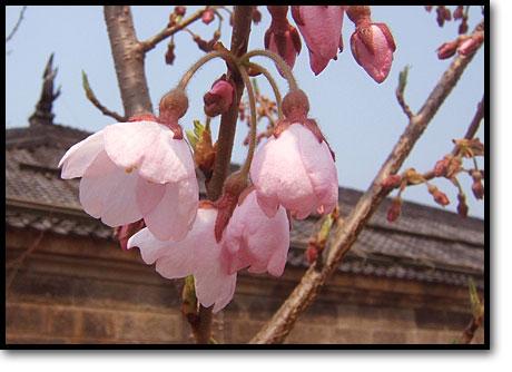 山形県白鷹町観光協会寄贈の樹齢千年古典桜が開花01