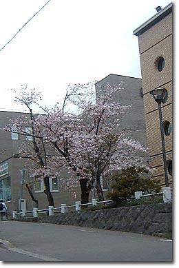 小樽警察署前庭の桜開花