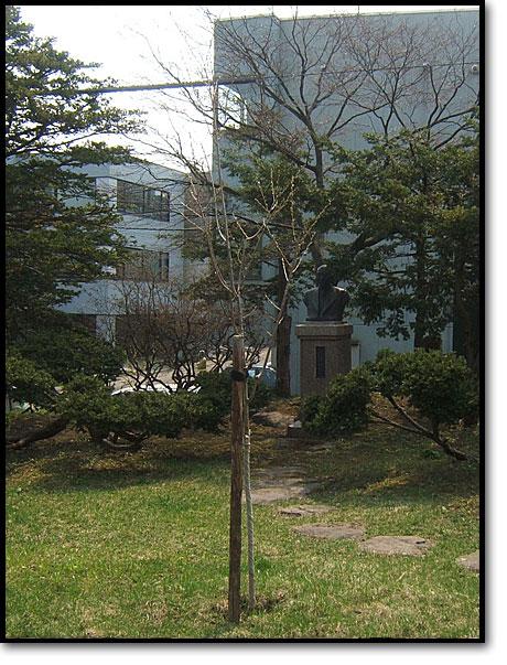 山形県白鷹町、金田桜名人寄贈の樹齢千年桜が市役所前庭01