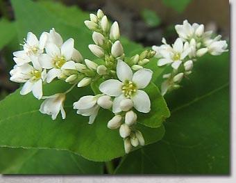 2007ソバの花開花
