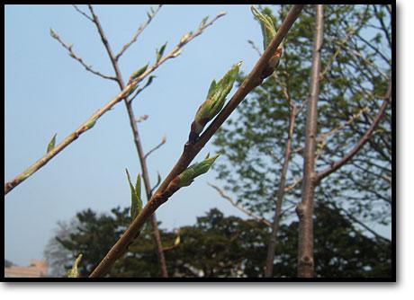 山形県白鷹町、金田桜名人寄贈の樹齢千年桜が開花市役所0203