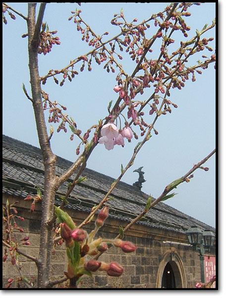 山形県白鷹町、金田桜名人寄贈の樹齢千年桜が開花03