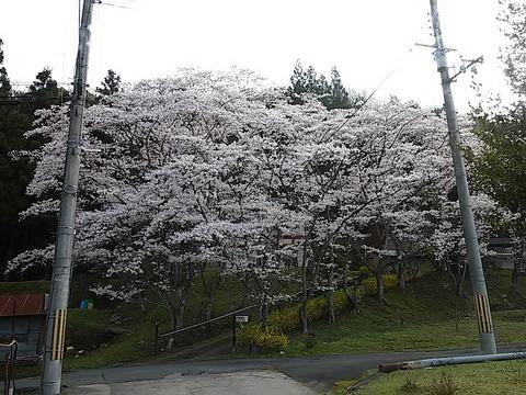 20160406_04近所の桜