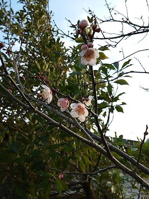 20160216_17桜早咲き