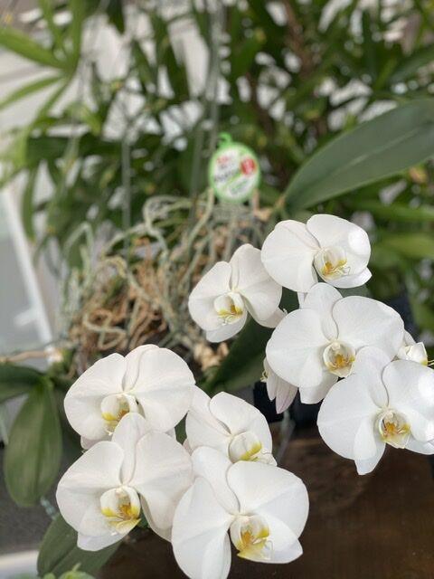 満開の胡蝶蘭