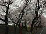 熊谷桜堤1