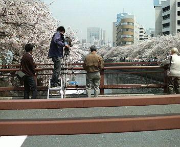 大岡川の桜2-3