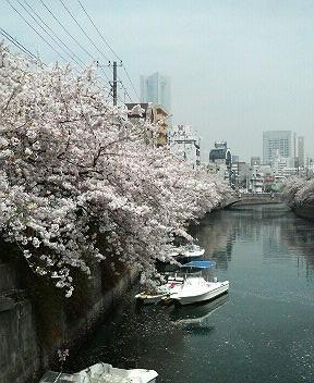 大岡川の桜2-4