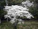 松尾ダムの桜