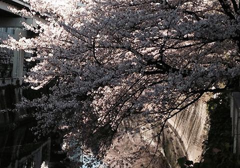 SAKURA2015@Edogawabashi-Tokyo
