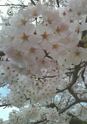 SAKURA2015@Hiroshima