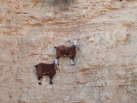 断崖絶壁のスーパーヤギ