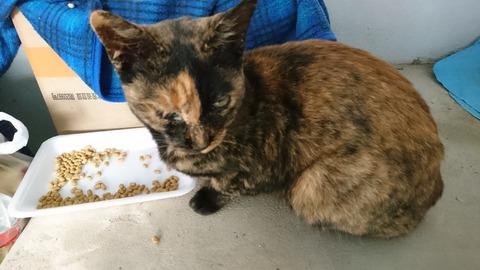 ご飯を食べるサビ猫