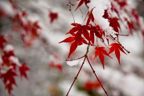 雪積もる紅葉