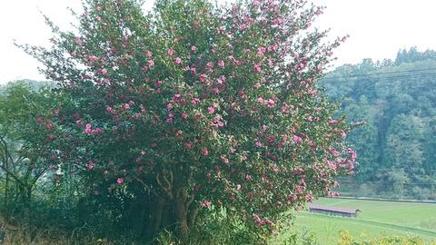 謎のピンクの花