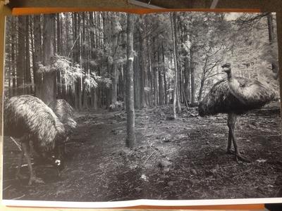 櫻井尚子写真集『鳥ーDromaius』2