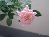 rose2011-10-1