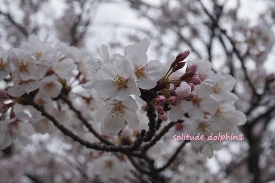 5 sakura