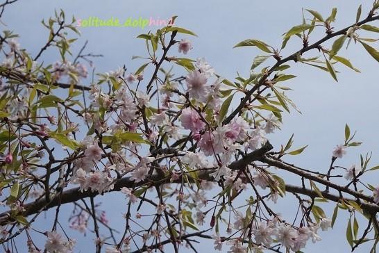 12 sakura